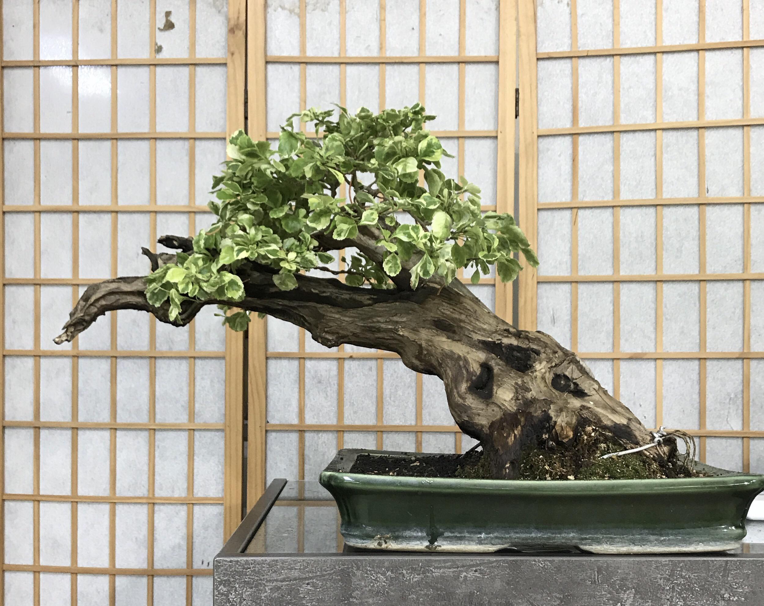 Bonsai Wabikusa Japan Gartengestaltung in Berlin Bonsai Eibe Japan in BerlinBonsai solitär Durantha