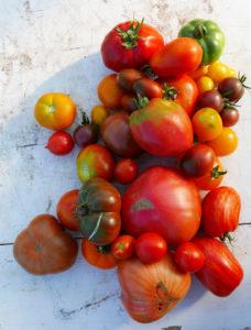 """Willkommen zur Tomatenverkostung: Fest ist die Schale und süß das Aroma des fleischigen Ochsenherzens aus Rumänien (ganz unten). Die kleinen schwarzen Mauretanierinnen gehören zur marokkanischen Familie der süßen """"Schokoladentomaten"""". Die große Goldgelbe (Namenlos) schmeckt besonders süß und samtig mit leichter Säure. Die gelben Birnchen sind Sloweninnen und setzen Akzente. Die Principe Borghese mit den neckischen kleinen Zipfeln ist so frech wie sie aussieht: spritzig und knackig. Dazwischen die runden Klassiker: Campari und das Harzer Feuer (Klassiker des Ostens). Exotisch hingegen die Roten Zebras, die es auch in grün und gelb- gestreift gibt."""