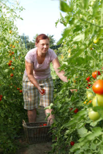 Denise bei der Tomatenernte auf dem Obsthof Siegeris in den Glindower Alpen. Hier wachsen über 100 Tomatensorten aus aller Welt.