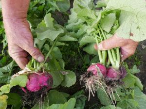 Gartenfachbauer Horst Siegeris ist stolz auf seine besonders aromatischen Rettichsorten und Radieschen. Die dürfen alle auch krumm sein.