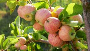 """Pralle Äpfel,. Auf dem Obsthof Siegeris wachsen an die 40 alte Apfelsorten. Auf die Frage nach dem gesündesten """"appel a day – keeps the doctor away"""" – Exemplar empfiehl Siegeris er den Vitamin C reichen Berlepsch oder die Goldparmäne mit dem nussigen Aroma."""