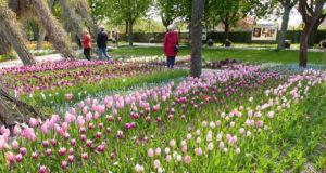 Tulipan im Britzer Garten 1 (c) Grün Berlin