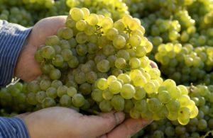 Weintrauben_Fotos Deutsches Weininstitut_DWI