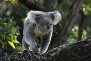 1599px-Koala_in_Zoo_Duisburg_Till Niermann_WikiCommons