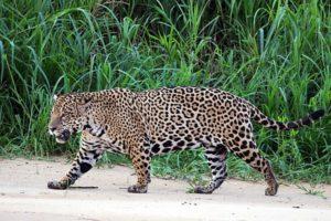Jaguar Wiki Common