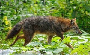 Canis_aureus_Kaeng_Krachan_national_park_Wiiki Commons