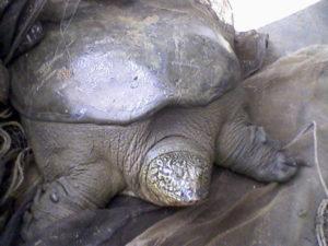 Jangtse Riesenweichschildkröte