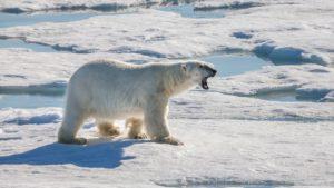 Polar Eisbaer_Wiki Commons